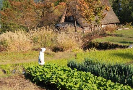 gokayama: Gokayama Japan - November 04, 2012, Japanese local woman working on vegetable field in Gokayama village Toyama Japan