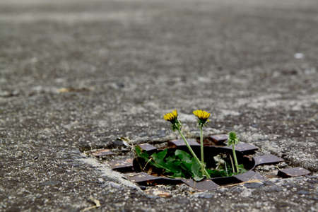 Dandelion brooming from sewage lid in the middle of the street Stock Photo