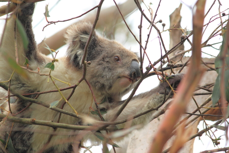 Wild Koala in Otway National Park Victoria Australia photo