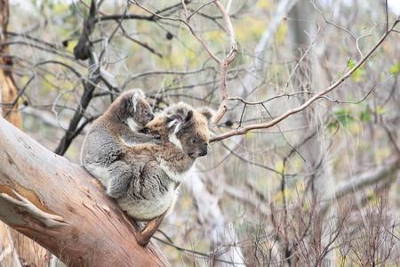 Wild Koala family in Otway National Park Victoria Australia photo