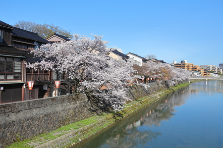 Japanese cherry blossom and Higashiyama teahouse district old houses Kanazawa Japan