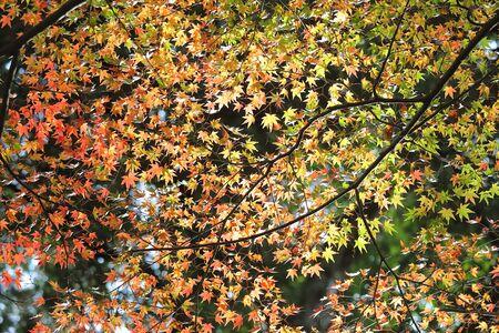 Maple leaf autumn leaves background Japan
