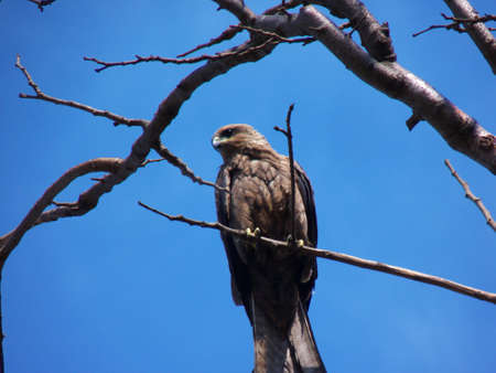 Great Indian Eagle