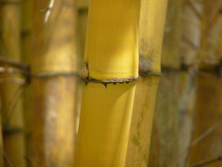 Bamboo Trees