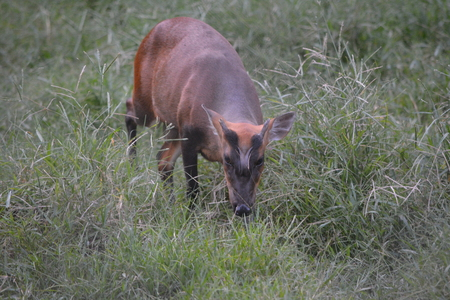 Reevess muntjac is a muntjac species found widely in southeastern China.