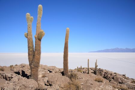 Cacti on the Isla del Pescado in Bolivian Salar de Uyuni Stock Photo - 11929337
