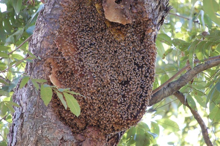 honey comb: A bees hive Stock Photo