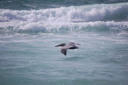 Image of brown pelican Banco de Imagens