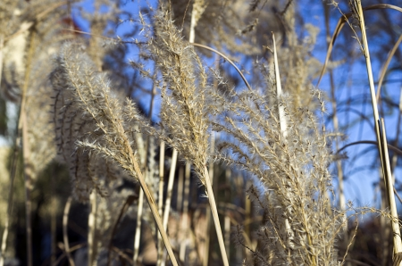 cane plumes: Cortaderia selloana in winter with blue background  Stock Photo