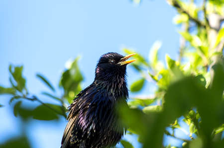 Starling sitting on a tree and observing the area photo
