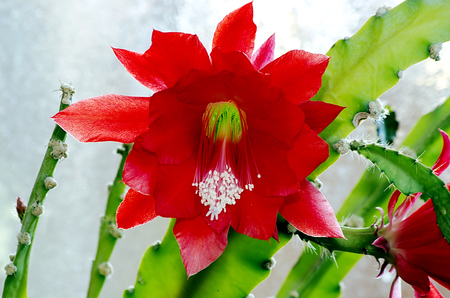 Red blooming cactus with a glass  photo
