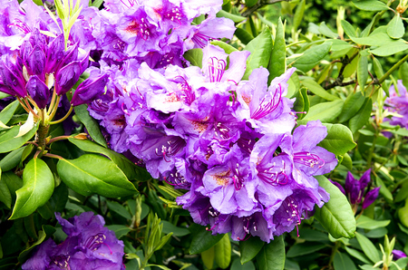 Rhododendrons in bloom with buds in the garden photo