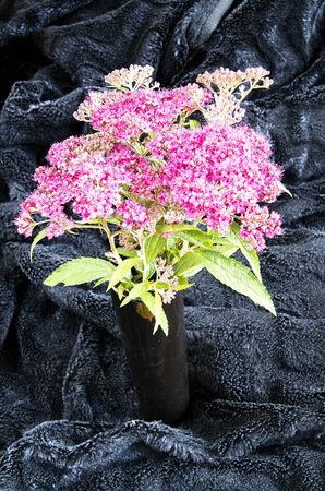 Japanese spirea in black vase on a black velvet photo