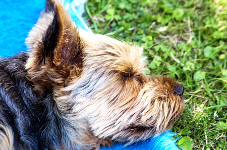 Yorkie sleeping on a blue blanket in the garden photo