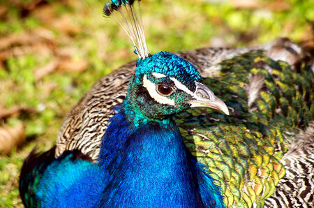 Nice peacock in the garden in Prague photo