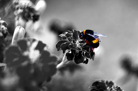 Bumblebee on Afrikaner flower black and white photo