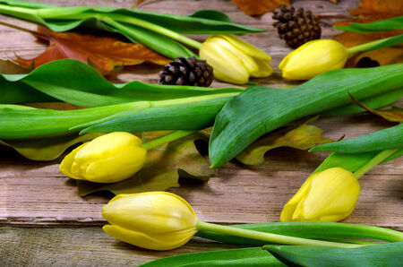 Yellow tulips with strobile on an old wooden table photo