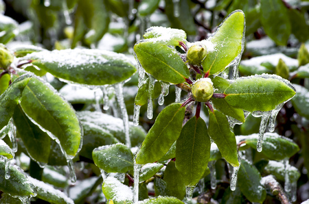 eis: Rhododendron bud with leaves trapped in ice