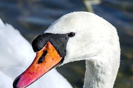 Detail of swans head on the river with a dark blue background contrast of white and dark blue photo