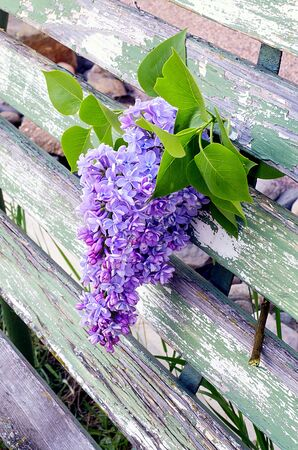 park bench: Blossoming blue lilac on old wooden park bench