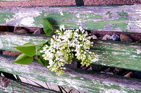 park bench: Blossoming white lilac on old wooden park bench