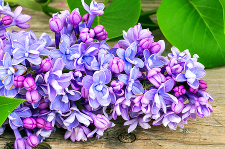 blossoming: Blossoming blue lilac on a wooden table Stock Photo