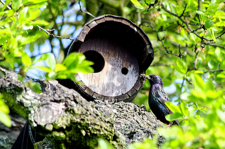 lombriz de tierra: Starling con lombriz en su pico cuando la alimentación de los pollos Foto de archivo