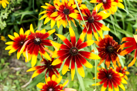 seed bed: Rudbeckia hirta Black-Eyed Susan, Gloriosa Daisy flowers