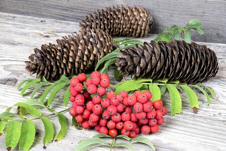 european rowan: Red rowan with pinecones on wooden table, autumn, background Stock Photo