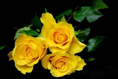black velvet: Three yellow roses on black velvet, flowers, background, still life