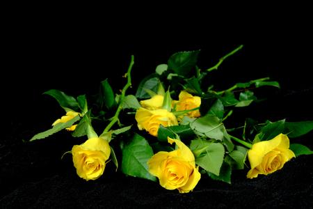 black velvet: Yellow roses on black velvet, flowers, background, still life Stock Photo