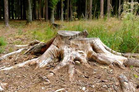 tree felling: Tree stump in a forest clearing, tree felling Stock Photo