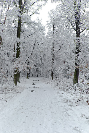 frostbitten: Forest path with trees in winter with snow, white, oak, beech, spruce Stock Photo
