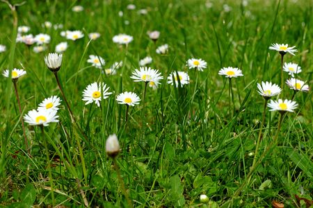 daisys: Many small daisies in the garden, spring, meadow