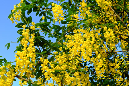 the drumstick tree: Blooming yellow Golden Shower Tree, (Cassia Fistula) in the evening Stock Photo