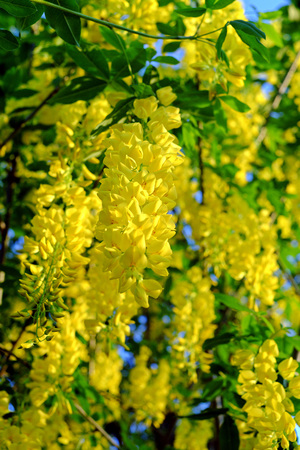 the drumstick tree: Blooming yellow Golden Shower Tree, (Cassia Fistula) in the evening light Stock Photo