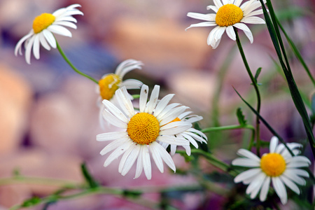 stones with flower: Detail of daisies on blurry background with multicolored stones, flower, bokeh