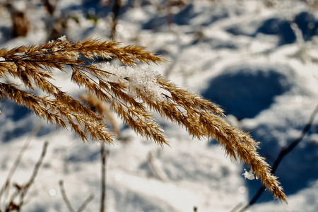 Dry grass with a bit of snow in the winter snow in background