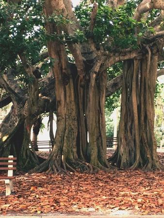 banyan: Banyan Tree Venice Stock Photo