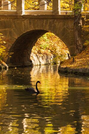 Black swan on a pond in the fall. Sofievka, Ukraine
