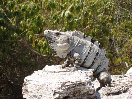 Iguana sunbathing on rock