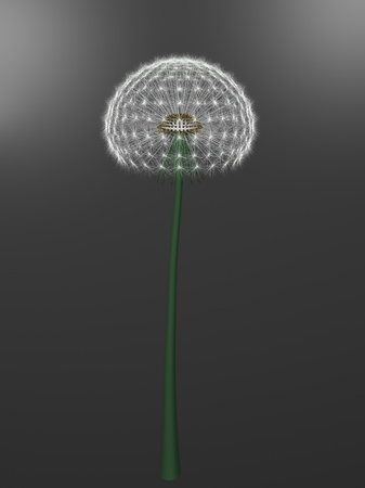 a dandelion on gray background Stock Photo