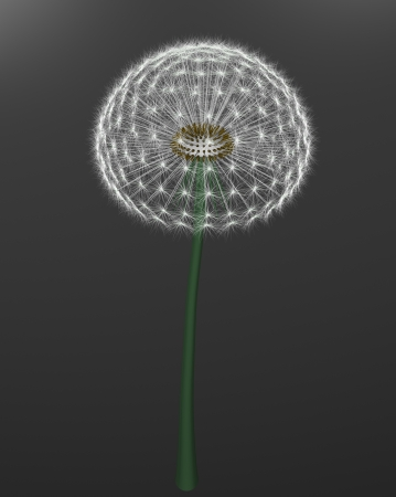 a dandelion on gray background Stock Photo