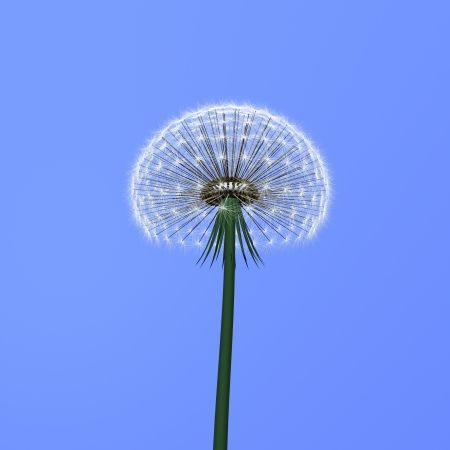 a dandelion on blue background photo