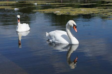 hyde: United Kingdom Hyde Park Swan Lake