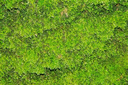 Close shot of green moss, to be used as background. Stock Photo