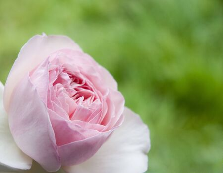 A rose flower on green blurry background Stock Photo - 903377