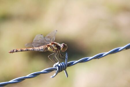 Close shot of a common darter dragonfly (Sympetrum striolatum) on a barbed wire. Spider silk visible.