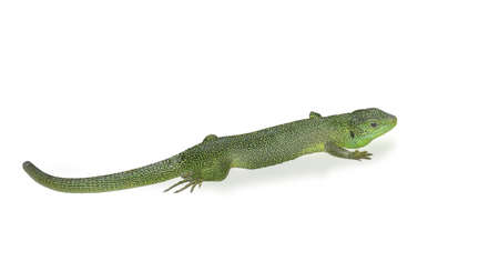 Green lizard isolated on white background. photo
