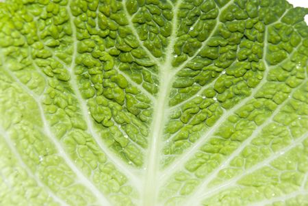 Close-up of green Savoy Cabbage crinkled leaves.